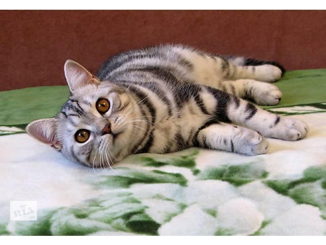 Мальчик-красввчик. Британский котик- объявление о продаже  в Запорожье