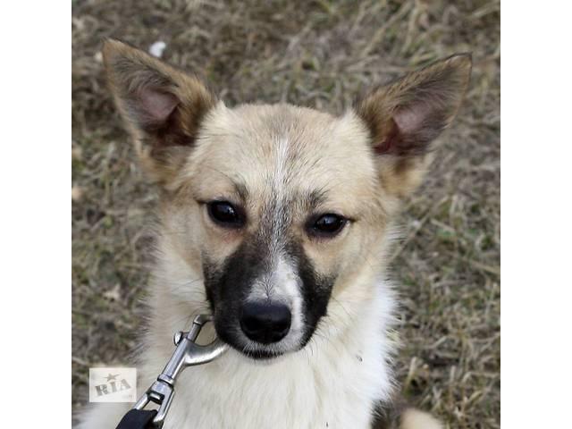 купить бу Молоденькая собачка небольших размеров ищет  семью!  в Киеве