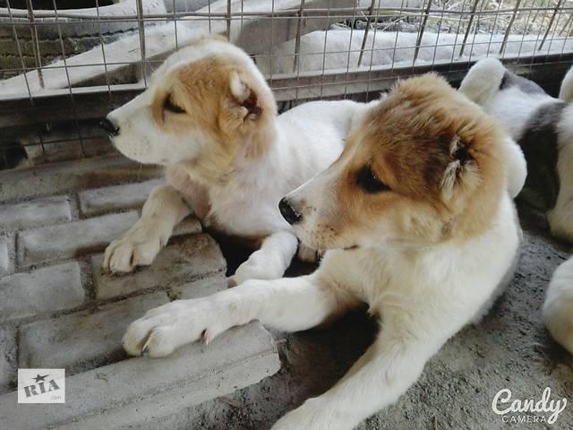 бу Мы очень хотим найти для наших собак отвецтвенных и любящих хозяев в Корце