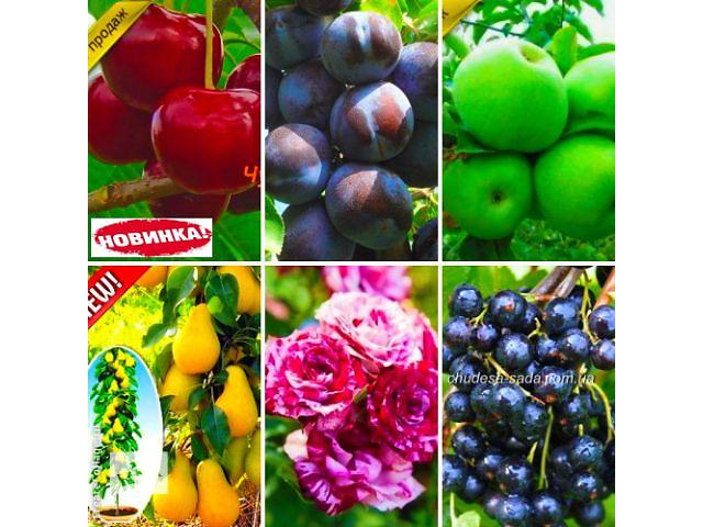 бу Нужны саженцы? Артемовский питомник. Яблони,груши сливы,вишни,розы.ИТД в Днепре (Днепропетровск)