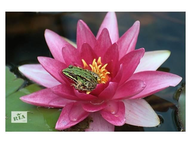 продам Нимфеи (водяные лилии, кувшинки, кувшинки), прибрежные и водные растения для прудов и декоративных водоемов, биоплато бу в Львове