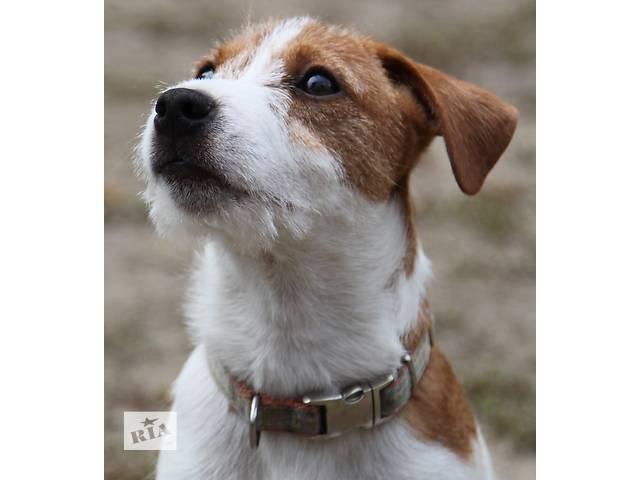 купить бу Очаровательные щенки джек рассела терьера в поиске пап-мам в Днепре (Днепропетровск)