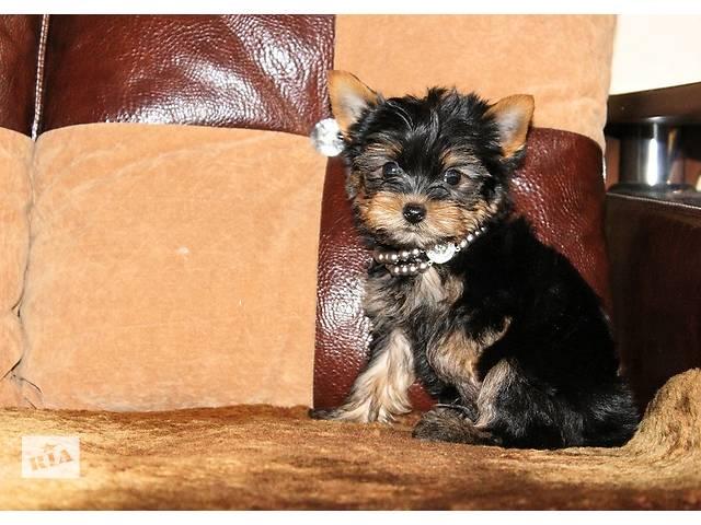 Очаровательные щенки Йоркширского терьера.- объявление о продаже  в Днепре (Днепропетровск)