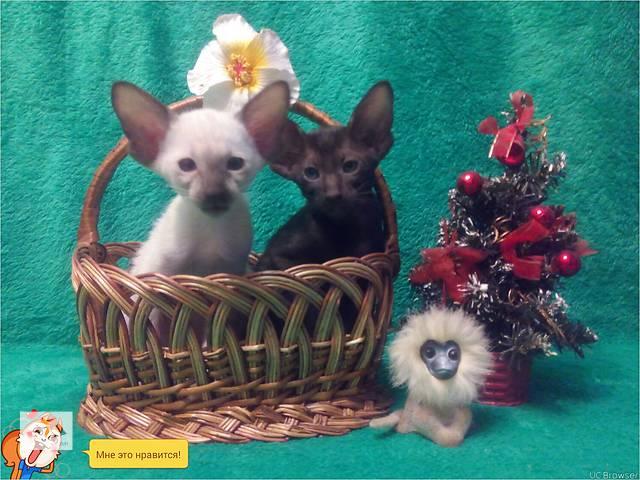 купить бу Ориентальные и сиамские котята. в Днепре (Днепропетровск)