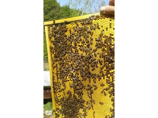 купить бу Пчелы: Пчелиные плодные матки (меченые) Карпатка в Киеве