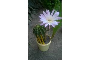 Квітучі кактуси