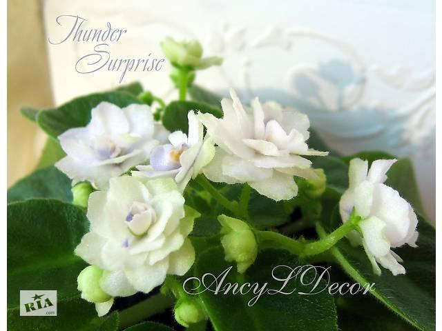 Фиалки мини сортовые Киев, стартер Thunder Surprise цветы как розы, полумини- объявление о продаже  в Киеве