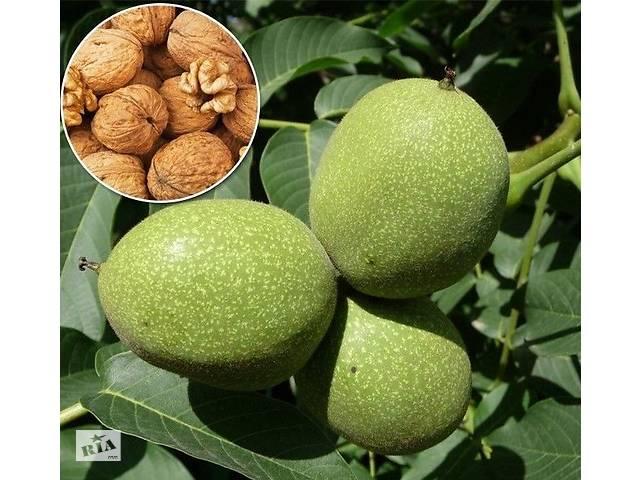 Грецкий орех Кочерженко сортовые саженцы