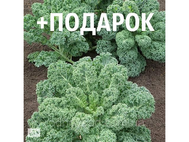 бу Капуста кейл семена 10 шт (листовая, кудрявая, кале, грюнколь, браунколь, Brassica oleracea) насіння в Андріївці