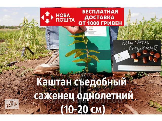 продам Каштан съедобный саженцы однолетние (Castánea satíva орех посевной) бу в Андреевке