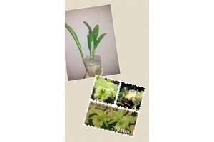 Орхідеї