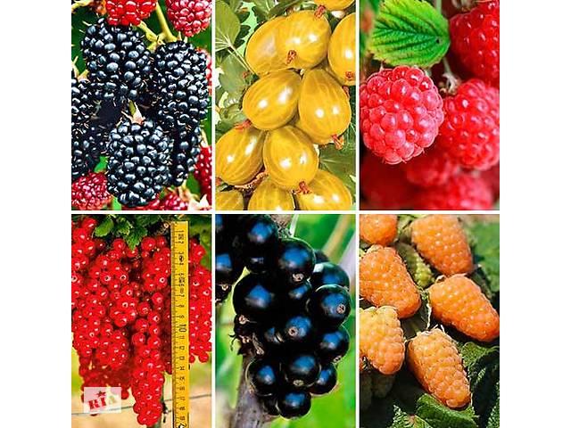 Купити ягідні саджанці. Купити саджанці плодово-ягідних культур- объявление о продаже  в Запоріжжі