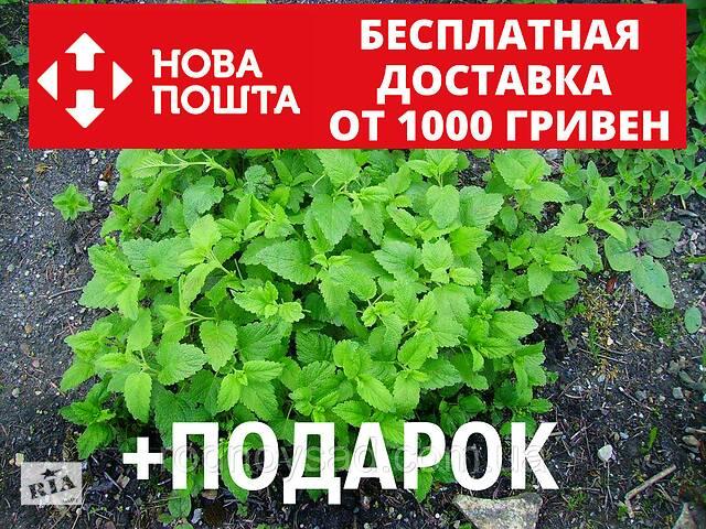 Мелисса лекарственная семена (20 шт) (лимонная трава, лимонная мята, мяточник, Melissa officinalis)- объявление о продаже  в Андреевке