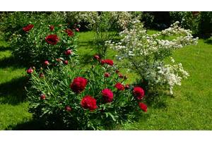 Цветущие луковичные растения
