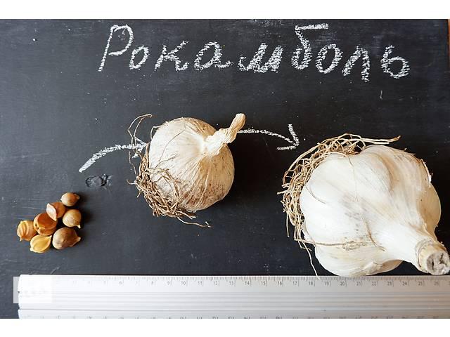 Рокамболь семена (детки) (10 штук) (слоновий чеснок) гигантский лук-чеснок, насіння часнику- объявление о продаже  в Андреевке