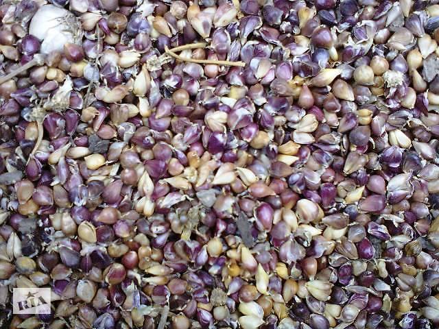 бу Семена чеснока (воздушка) , Однозубка чеснока , Чеснок продам в Умани