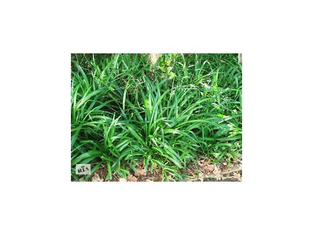 Вечнозеленый Chlorophytum elatum.- объявление о продаже  в Днепре (Днепропетровск)