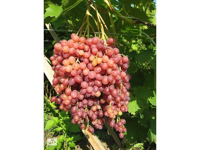 бу Саженцы винограда Велес (кишмиш) в Новой Каховке