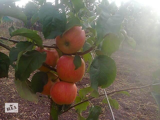 купить бу Продам элитные сорта яблонь в Бершади