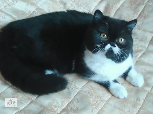 Продам кошку-экзотку.- объявление о продаже  в Харькове
