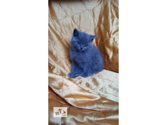 Продам котенка британца- объявление о продаже  в Киеве