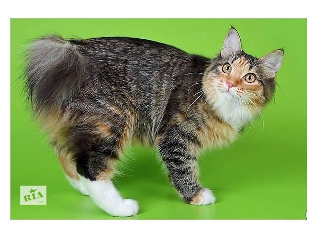 купить бу Продам котенка курильского бобтейла (тигровая черепашка) в Днепре (Днепропетровск)