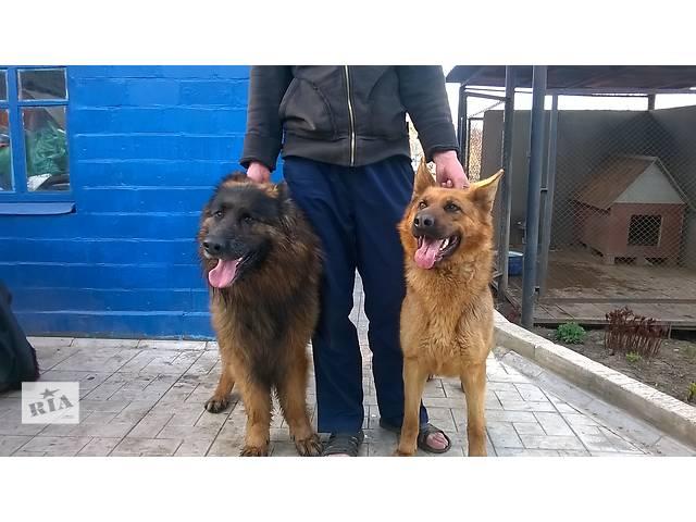 продам Продам плановых щенков немецкой овчарки от элитных производителей бу в Харькове