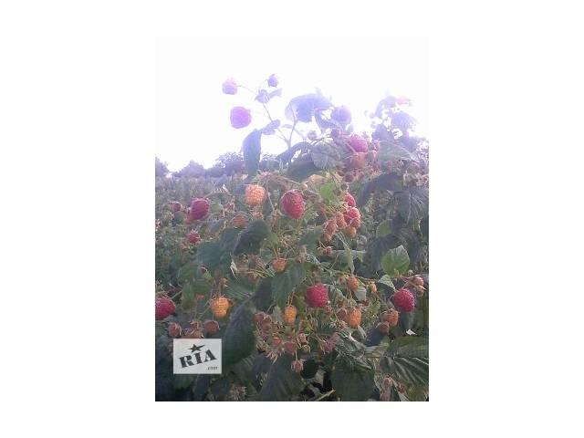 купить бу продам саженци малины ремонантный сорт Херитейдж в Виннице