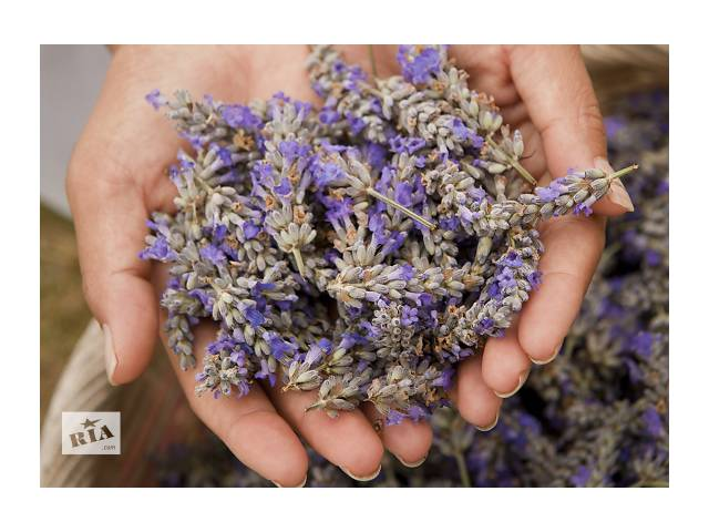 бу Продам семена Лаванды в Запорожье