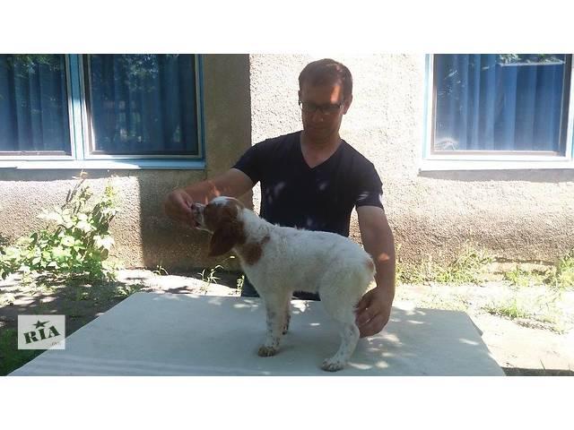 продам Продам щенка породы Эпаньол Бретон кабель бу в Днепре (Днепропетровск)