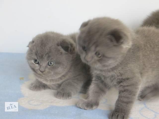 Продам вислоухих и прямоухих котят разных окрасов по разным ценам- объявление о продаже  в Хмельницком
