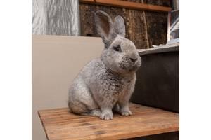 Продаю породистых кроликов НЗБ, БСС, Строкачь