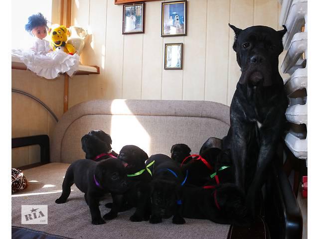 Продаются щенки кане-корсо- объявление о продаже  в Одессе