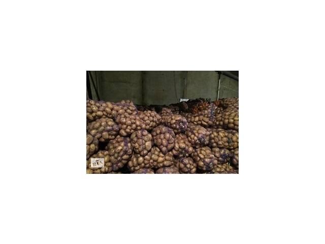 Картофель семенной посадочный и товарный. Доставка- объявление о продаже  в Кривом Роге