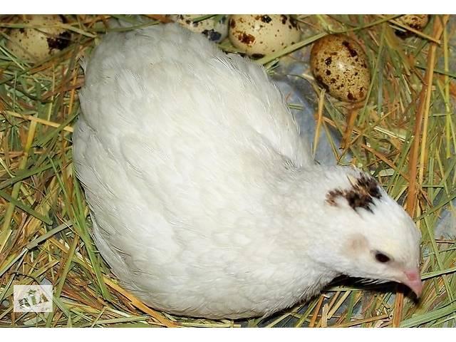 продам Перепелиные инкубационные яйца бу в Николаеве