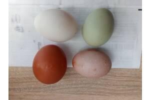Разноцветные домашие яйця