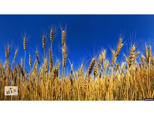 купить бу Зерно, пшениця, кукурудза в Виннице