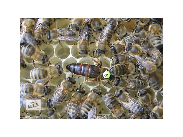 Пропонуються бджоломатки  Карніка (Сarnica) F1 (березень-вересень)- объявление о продаже  в Умани