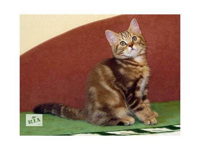 продам Роскошный Шоколадный мраморный котенок бу в Харькове