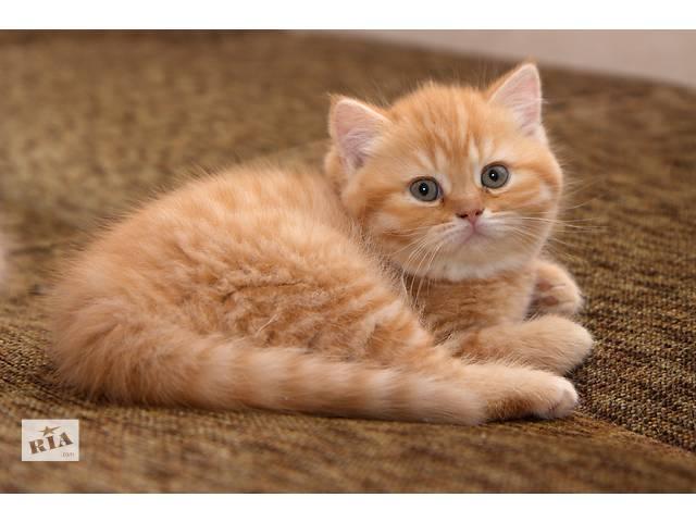 купить бу Рыжие (красные)  британские котята в Луцке