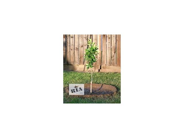 саженцы различных деревьев- объявление о продаже  в Запорожье