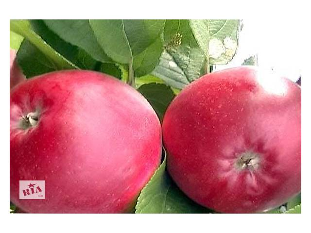 бу Саженцы яблони в Кельменцах