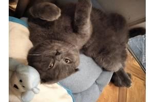 Молодой котик британский вислоушик ищет кошечку для вязки