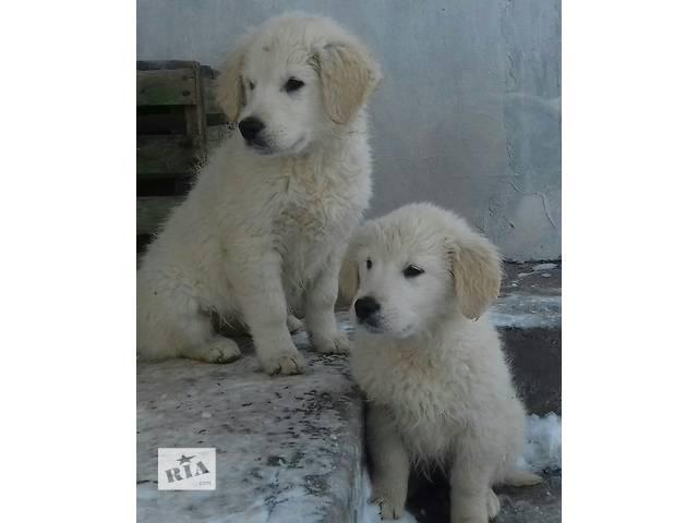 продам щенки голден(золотистого)ретривера бу в Тернополе