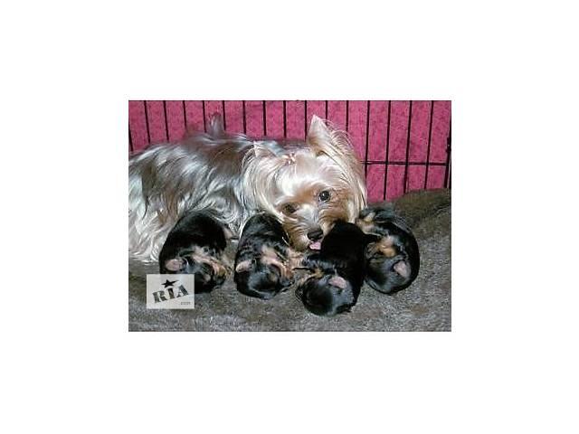 купить бу щенки йорки в Днепре (Днепропетровск)