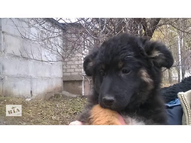 купить бу Щенок-будущая охранница ищет дом в частном секторе в Харькове