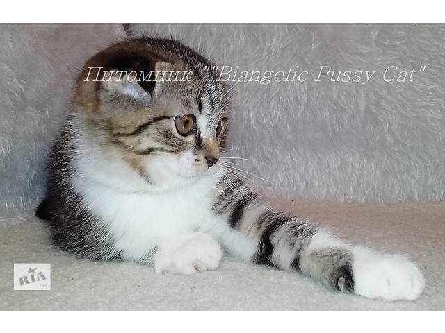 Шотландские котята окраса табби- объявление о продаже  в Днепре (Днепропетровск)