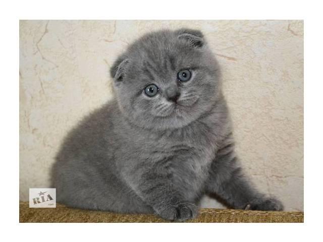 бу Шотландская кошка Шотландская вислоухая (Скоттиш-фолд) Девочка в Донецке