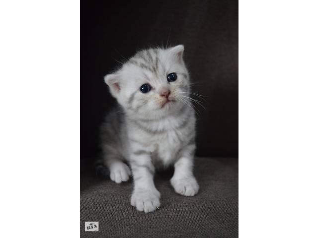 бу Шотландские котята в Бердянске
