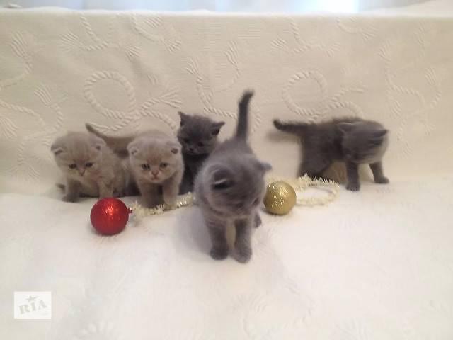 Шотландские вислоухие,прямоухие котята-скоттиш фолд и скоттиш страйт,голубого и лилового окраса- объявление о продаже  в Черкассах